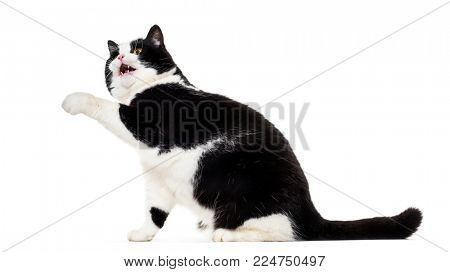 Mixed breed cat looking up against white background