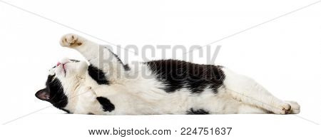 Mixed breed cat lying on side against white background
