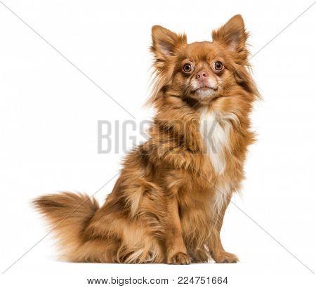 Mixed breed dog sitting against white background