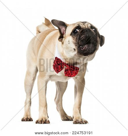 Pug in red bow tie barking against white background