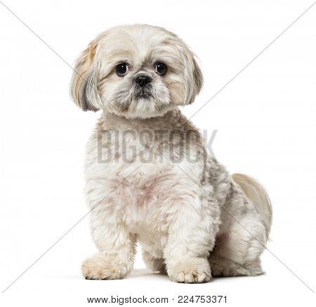Shih Tzu sitting against white background
