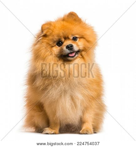 Spitz dog sitting against white background