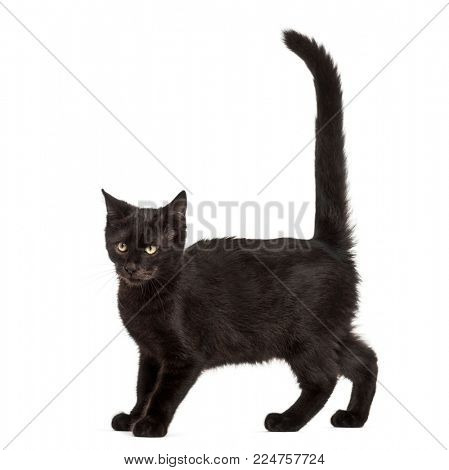 Mixed-breed black cat against black background