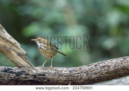 Cute little Puff-throated babbler or spotted babbler perching on tree branch , Thailand