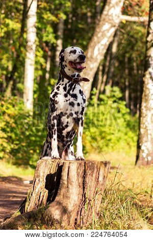 Young dalmatian stand on back paws and put  front paws at the stump and looking forward at sunny day
