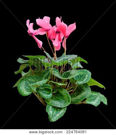 Pink cyclamen, houseplant isolated on a black background with clipping path.