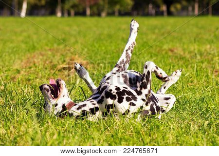 Young dalmatian wallows on grass at sunny day