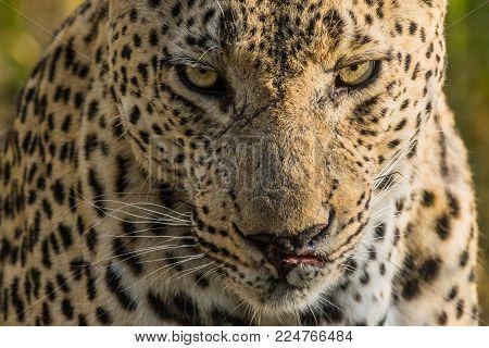 A menacing male leopard stared us down