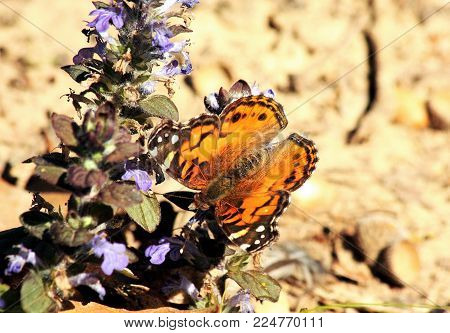 A American lady butterfly, with wings open, sipping nectar from a purple ajuga flower on a light brown background.