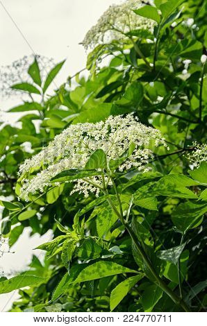 White bunch flowers of Sambucus, green leafs shrub. The various species are commonly called elder or elderberry.