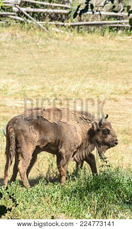 European Bison (bison Bonasus), Wisent Or The European Wood (zimbru), Living In The Green Forest, Po