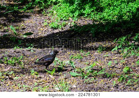 Common starling looking for food on a ground in park