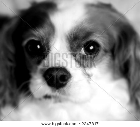 Black And White Cocker Spaniel Dog
