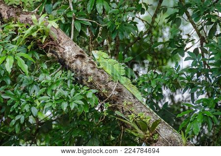 Plumed basilisk (Basiliscus plumifrons), also known as green basilisk, double crested basilisk, or Jesus Christ lizard, with its three crest and bright yellow eyes on a tree in Tortuguero National Park, Costa Rica