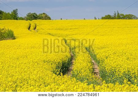 Rapeseed field with tracks of agricultural machines right after the city boundary of Berlin in Land Brandenburg, Germany