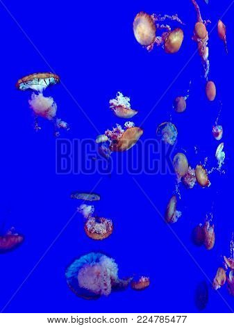 tranquil jellyfish in an aquarium with a blue background