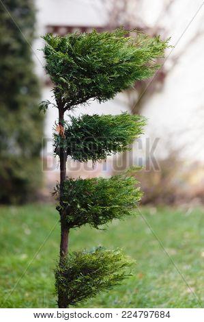 An Ornamental Green And Beautiful Tree In Garden