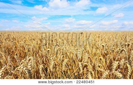 Summer Field of a Ripe Common wheat - Bread Wheat (Triticum aestivum)