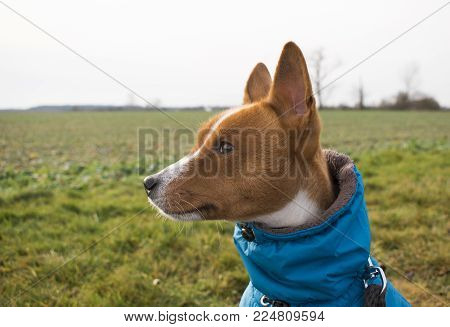 beautiful Basenji dog portrait in spring field. Cold sunny day. Dog in winter clothes