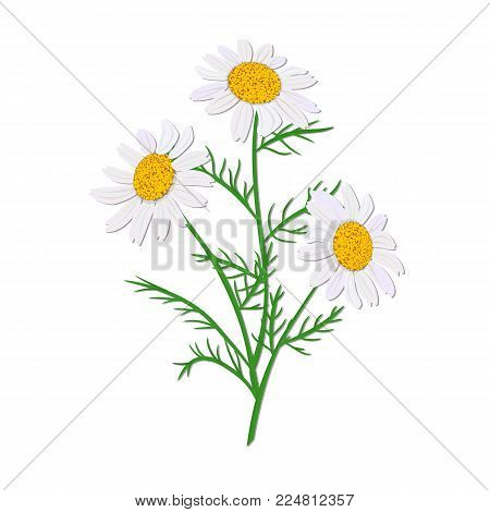Daisy or chamomile. Wildflower isolated with stem. Design for invitation, wedding or greeting cards, decoration, design, healthcare products, herbal medicine, textile