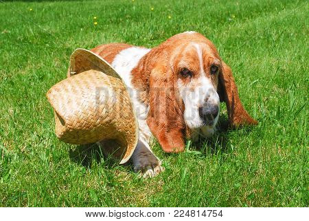 Dog, beautiful basset hound sit or lay down on green grass fileld background and hat in design cowboy is be side.