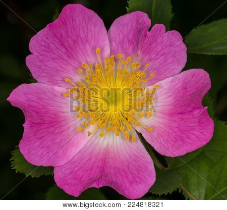 wild rose flower during the summer bloom
