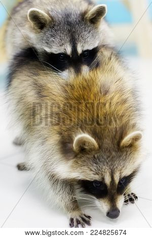 two raccoons mating, manual and funny raccoons