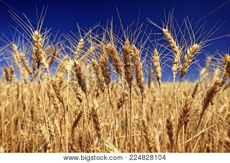 Crop Of Wheat Ripens In The Summer Sun