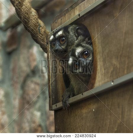 Two three-striped night monkeys, or nothern owl monkeys, Aotus trivirgatus, peek out of a hole in their wooden house and looking at camera. The monkeys have black snouts and white brows