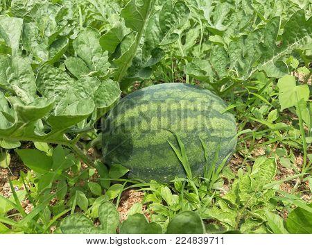 Watermelon fruit in the farm