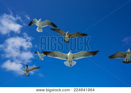 Seagulls sea gulls group flying on blue sky in Caribbean sea