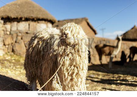 Alpaca, Peruvian Wool, Peru