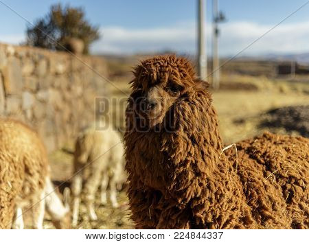 The alpaca (Vicugna pacos) is a domesticated species of South American camelid. Alpacas are similar to llamas, and are often confused with them. The two animals are closely related, and can successfully cross-breed.