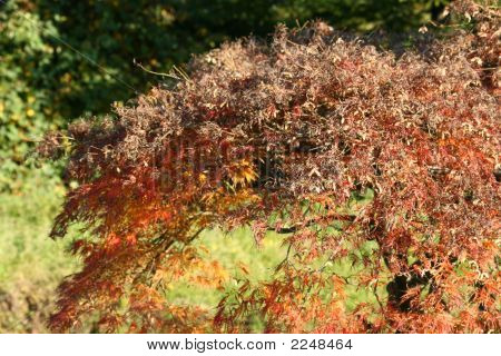 Red Acer Autumn