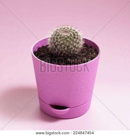 cactus in pot on purple background, stylish pop image,