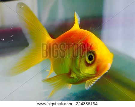 Red fish in a water bowl, looking away, pet
