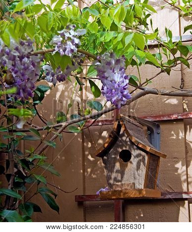 Blooming wisteria and bird house waitig for birds