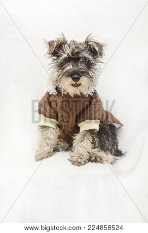 Full-length portrait of a gray and white Schnauzer breed dog, dressed in a brown and beige sweater, sitting on a white textured background.