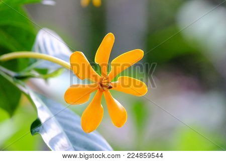 A sungle golden gardenia flower blossom in a botanical garden at the park with green nature background and warm light