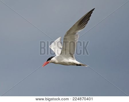 Caspian tern in flight with blue skies in the background