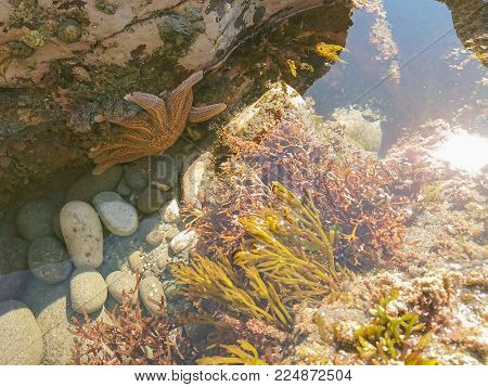 Natural marine life orange star fish over seacoast