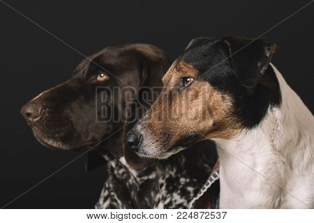 Two dog portrait. German pointer and terrier dog studio shot.