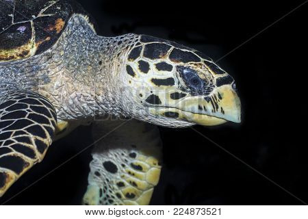 A Closeup of a Sea Turtle with Black Background