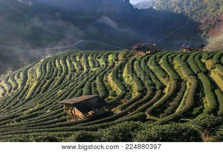 2000 Tea plantation, Doi Angkhang mountain, Chiangmai, Thailand.