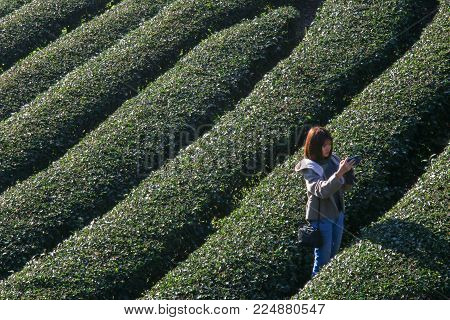 CHIANG MAI, Thailand - 19 January 2018 : Tourists taking pictures at 2000 Tea plantation, Doi Angkhang mountain, Chiangmai, Thailand.