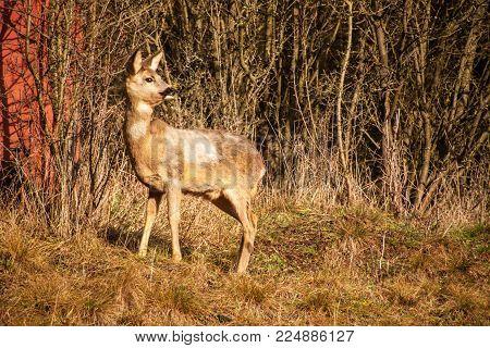 Deer in wildlife. Deer in the bushes. Wildlife in the Czech Republic