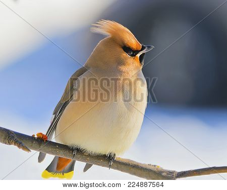 Young bird Waxwing (Bombycilla garrulus) perching on Rowan tree branch at winter time - Siberia, Russia