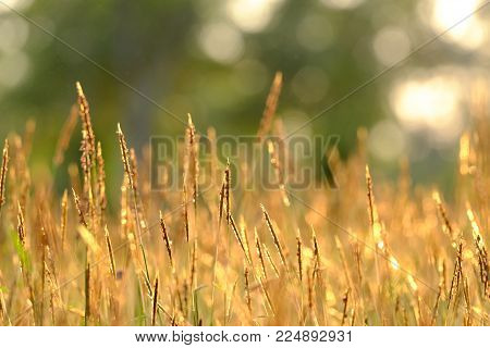 Silhouette sunset at dusk time and wild grassland at the park with golden light