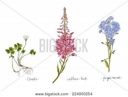 Wild Plants And Flowers Hand Drawn In Color. Willow, Oxalis And Forget-me-not. Herbal Vector Illustr