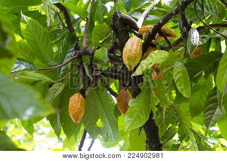 Group of ripe and raw cocoa beans , Theobroma cacao on a tree in island Bali, Indonesia. Close up